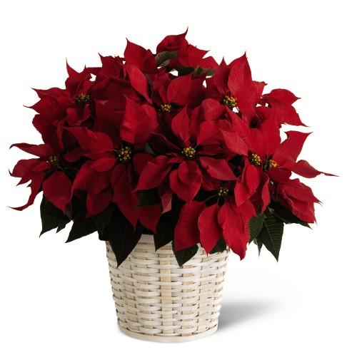 Fruit Flower Baskets Edmonton : Large red poinsettia basket at ollie s grower direct in