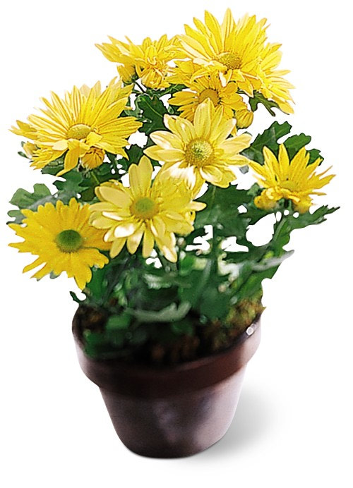 Small daisy potted plant at ollies grower direct flowers in calgary mightylinksfo